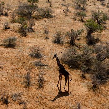 У ПАР жираф під час зйомок убив кінорежисера Карвальо