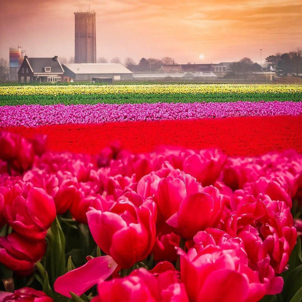 На полях Нідерландів зацвіло одночасно 7 мільйонів тюльпанів (фото)