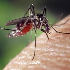 В Україні попередили про небезпеку комарів