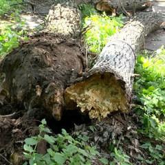 У Черкасах на дітей упало дерево: 4 постраждалих (фото)