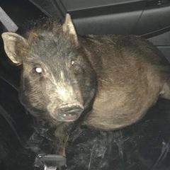 Чоловік звернувся до поліції через переслідування свині