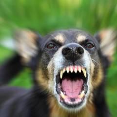 У Деснянському районі Києва ввели карантин через собачий сказ