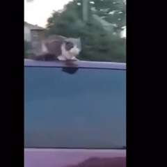 Кішка проїхалася на даху авто і потрапила на відео