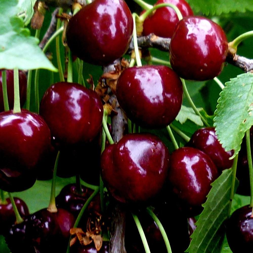Заборона на черешню: кому шкідливо їсти цю ягоду