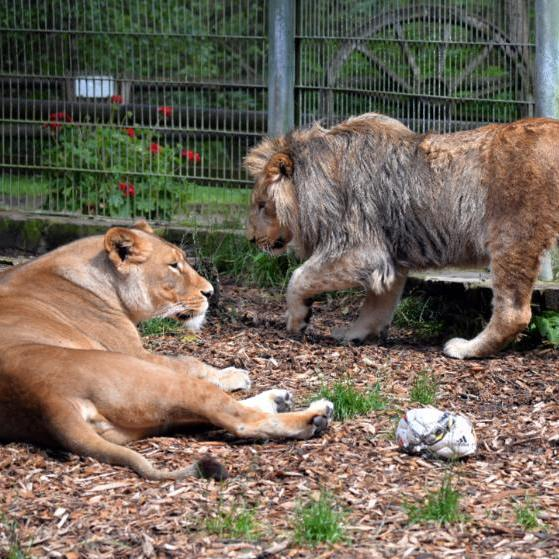 У Німеччині із зоопарку втекли леви, тигри та ягуар
