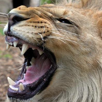 Втеча із зоопарку в Німеччині: п'ятьох хижаків зловили, ведмідя застрелили