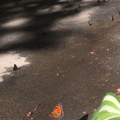Причиною нашестя метеликів у Києві став «моментальний» прихід весни – ентомолог