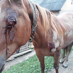 Прив'язав до авто й тягав по асфальту: поліція відреагувала на знущання над конем на Закарпатті (фото)
