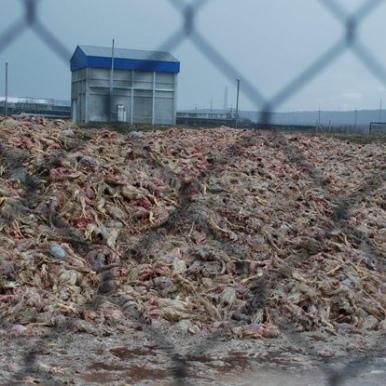 Власника «Гаврилівських курчат» затримали через екологічний злочин