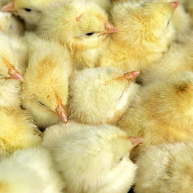 У Грузії з викинутих на звалище яєць вилупилося безліч курчат (відео)