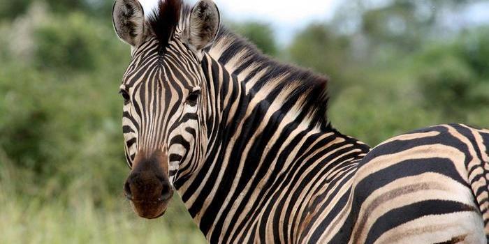 У Дрездені із зоопарку втекли зебри і бігали по всьому місту (відео)