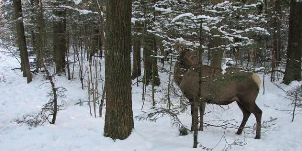 На Львівщині браконьєри жорстоко розправилися з вагітною лосицею (фото)