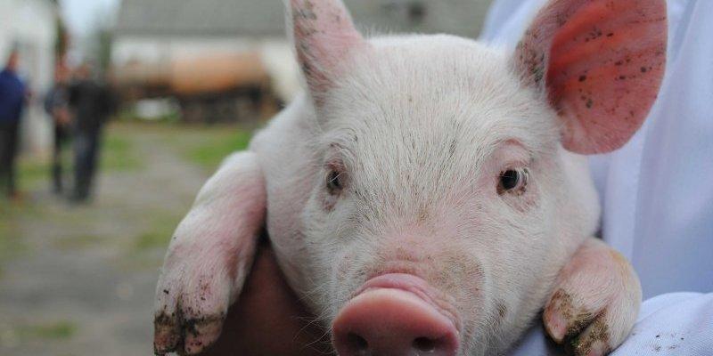 У Харкові на стихійному звалищі знайдено трупи свиней, заражених АЧС