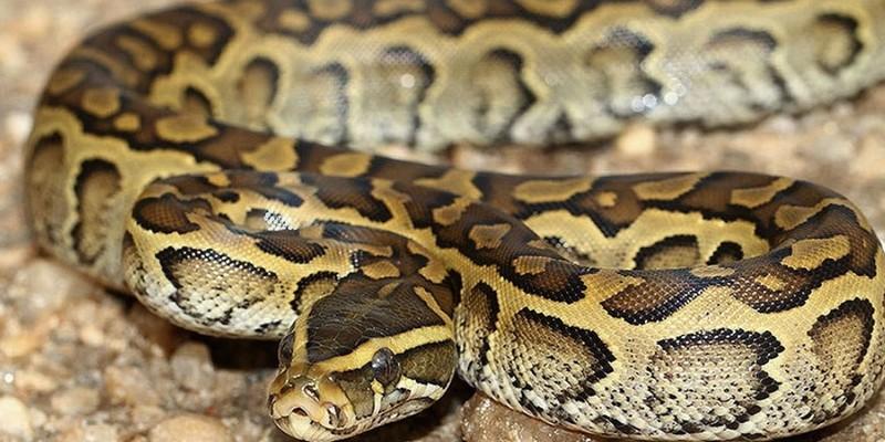 До Дня Валентина в Австралії розігрують можливість назвати змію ім'ям колишньої другої половинки