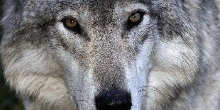 У Запорізькій області оголошено карантин: хвора на сказ вовчиця покусала 3 людей
