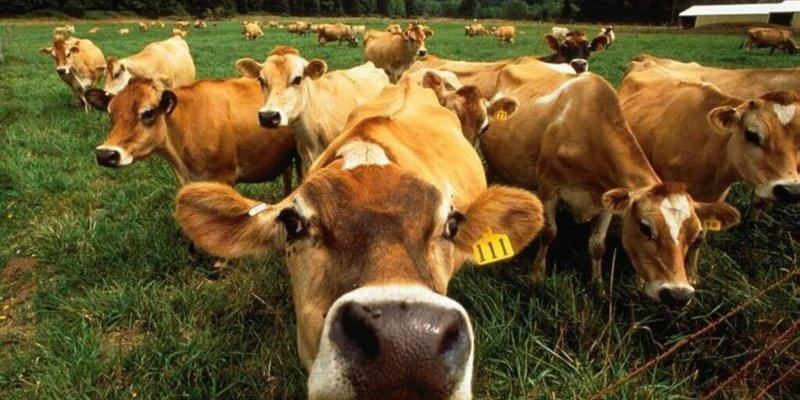 У Британії розпочав роботу сервіс для он-лайн «знайомств» великої рогатої худоби