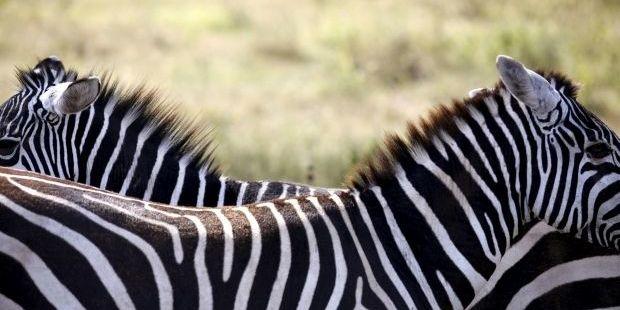 Стало відомо, навіщо зебрам потрібні смужки на шкірі
