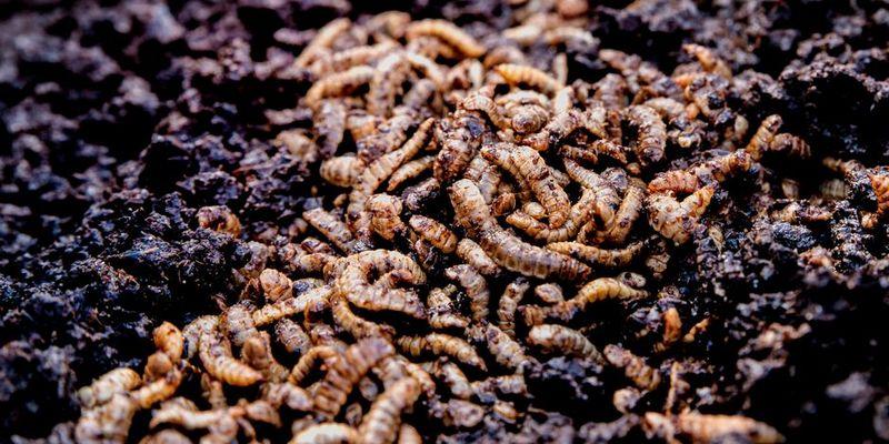 У Фінляндії запустили онлайн-трансляцію про життя личинок мух (відео)