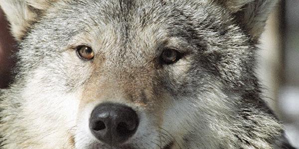 На Київщині небезпечно зросла кількість вовків