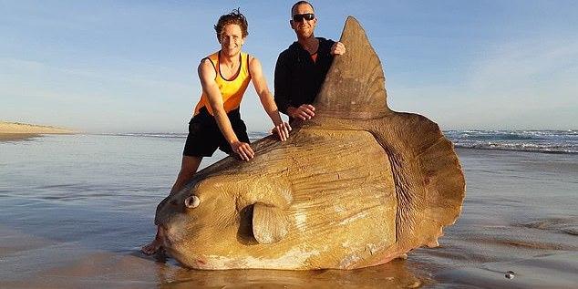 В Австралії риба вагою в кілька сотень кілограмів викинулася на берег (відео)