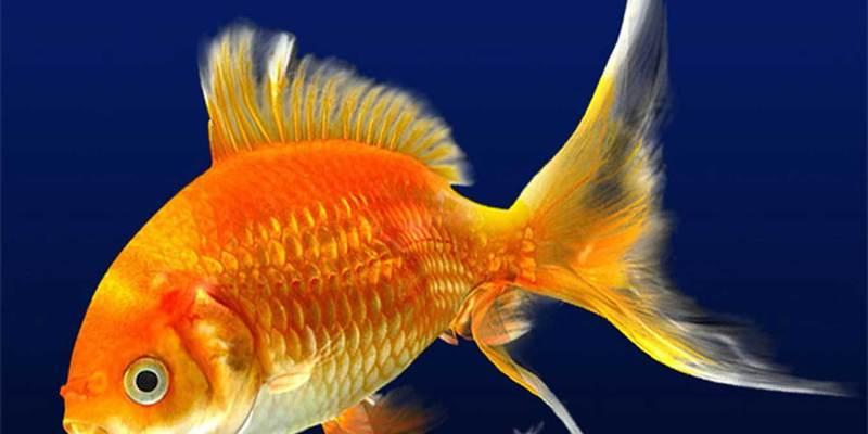 Британець з'їв живу золоту рибку та отримав великий штраф (відео)