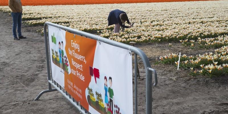 Нідерландські фермери - туристам: не топчіть наші тюльпани