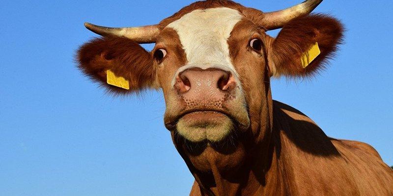 Кабмін виділив 700 мільйонів на утримання корів