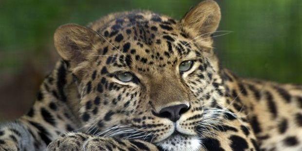 В Індії леопард відкусив голову 9-місячному немовляті