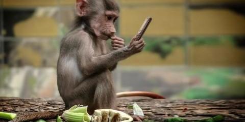 Гортає стрічку та лайкає фото інших мавп: у США шимпанзе навчили користуватися Instagram (відео)