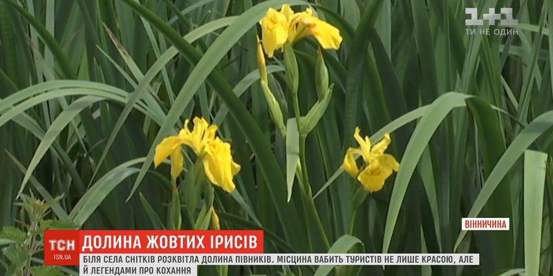 Вабить туристів: на Вінниччині розквітла долина жовтих ірисів (відео)