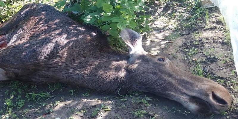 У Львові лось застрибнув на приватне подвір'я і загинув (відео)