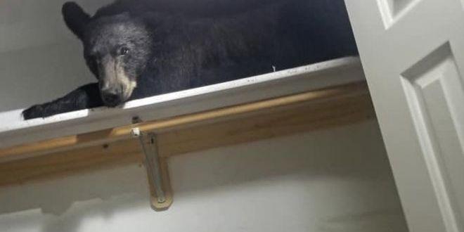 У США ведмідь заліз до будинку й заснув у шафі