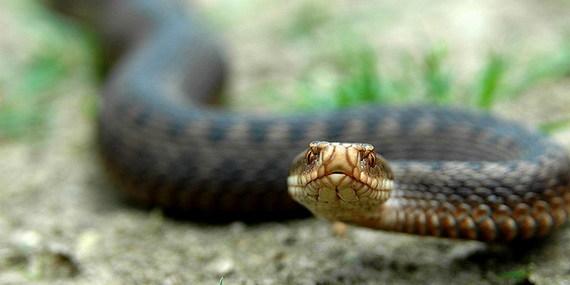 Що робити, коли вкусила змія: поради Супрун