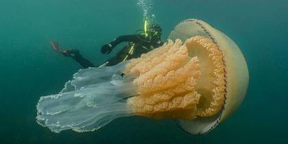 У Великій Британії виявили медузу розміром з людину (відео)