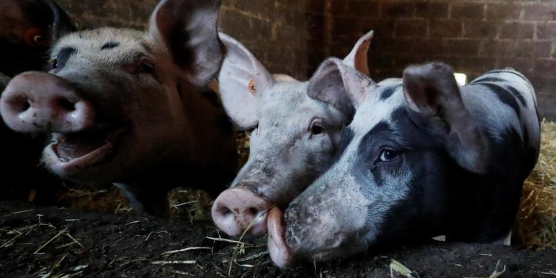 На Львівщині зафіксували нові спалахи чуми свиней