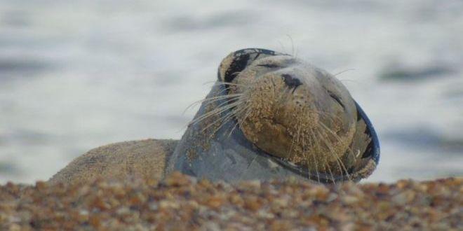 У Британії знайшли поранене тюленя, що застрягло у шматку пластику