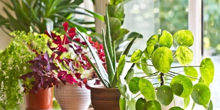 Спростовано користь кімнатних рослин в очищенні повітря