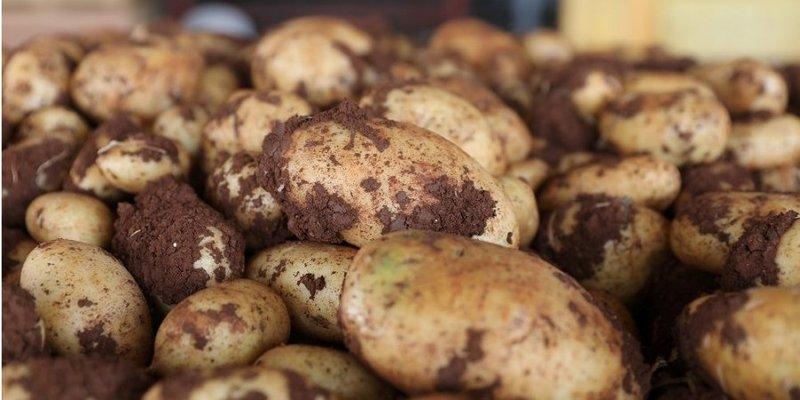 Неврожай. Україна за один місяць імпортувала більше картоплі, ніж будь-коли раніше за цілий рік