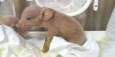 У Китаї народилися свині з відредагованим геномом, сумісним з людським
