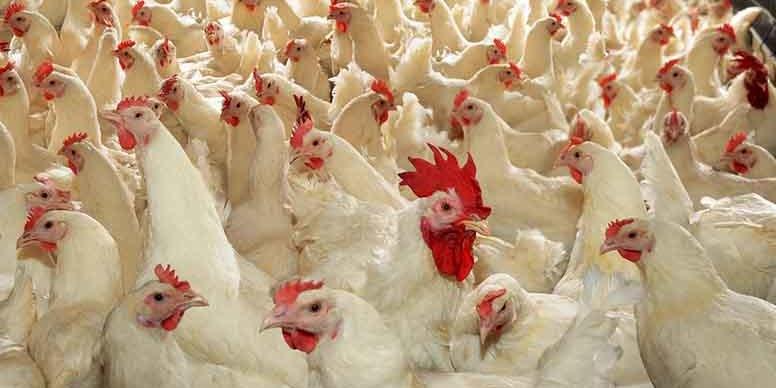 Мальдіви та Сейшели: українську курятину куштують в 1/3 країн світу