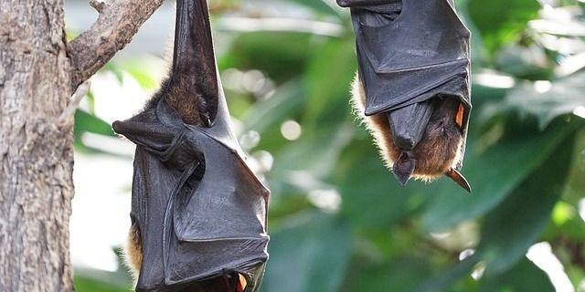 Як кажанам вдається переносити убивчі хвороби і залишатися живими