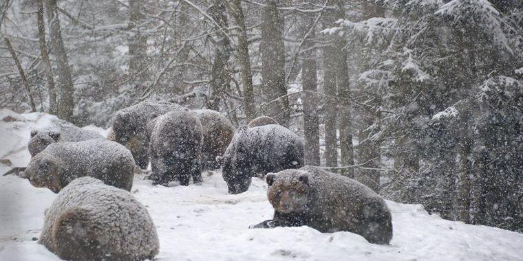 Аномально тепла зима спровокувала раннє пробудження ведмедів у всьому світі