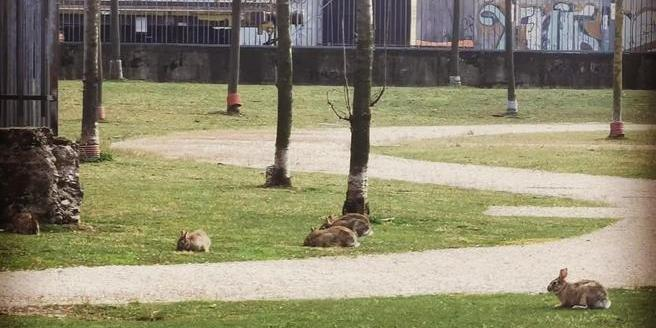 Карантин в Італії: порожні міланські парки заполонили зайці