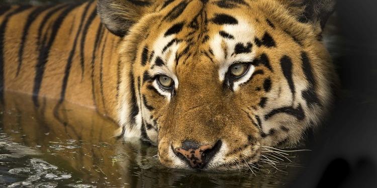 У Нью-Йоркському зоопарку у тигриці виявили коронавірус