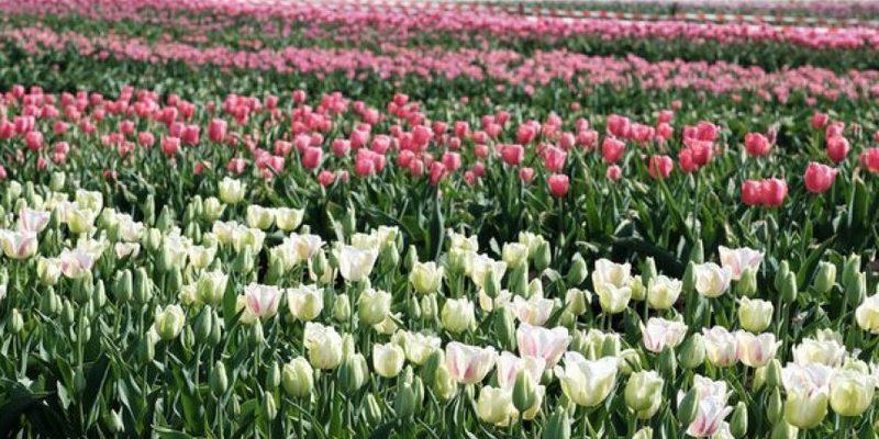На Буковині фермер через карантин знищив 2 мільйони квітів
