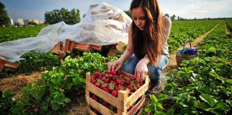 У Польщі без українців зіпсується весь урожай полуниці: заробітчани не можуть виїхати через карантин