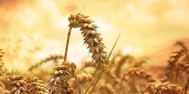Пшениця може стати другою нафтою на найближчі роки – експерт