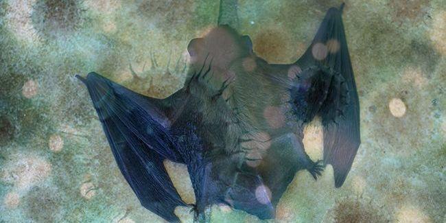 У кажанів знайшли ще один вірус: він родич COVID-19