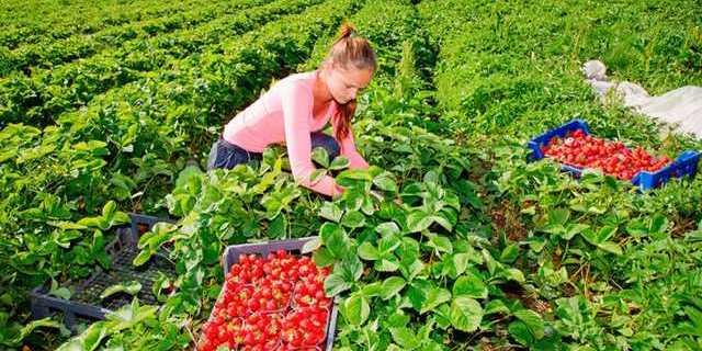 Естонські фермери просять владу дозволити українцям приїхати на збір полуниці